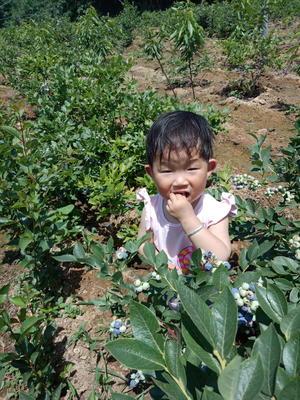 山东省泰安市岱岳区蓝丰蓝莓苗