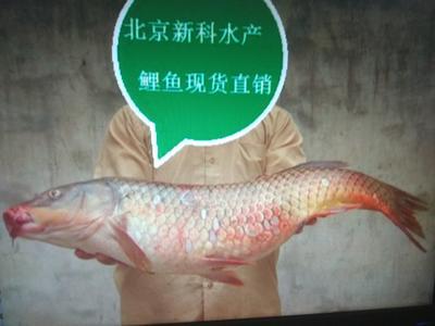 北京顺义区鲤鱼苗