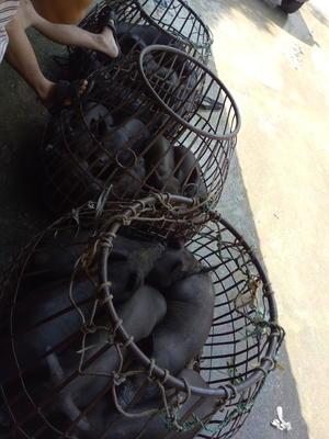 广西壮族自治区北海市银海区土黑猪苗