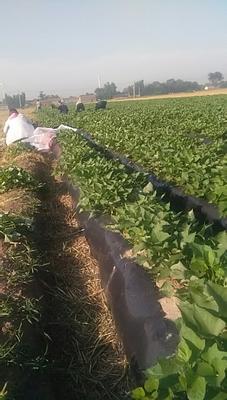 山东省德州市夏津县龙薯9号红薯苗 25~35cm