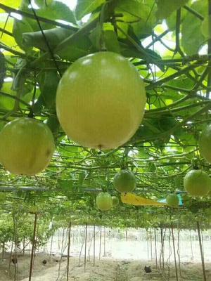 广西壮族自治区钦州市灵山县黄金百香果苗