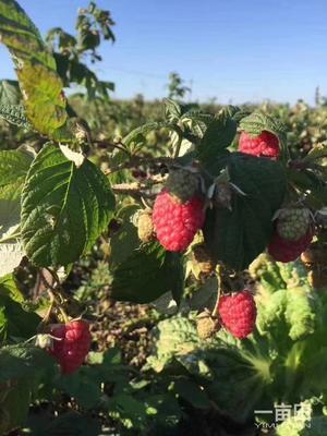 这是一张关于红树莓苗的产品图片