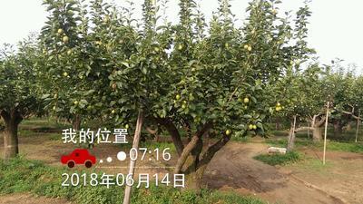 河北省石家庄市深泽县库尔勒香梨 3-6g 55mm