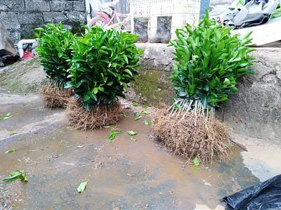 广西壮族自治区桂林市荔浦县沙糖桔苗 嫁接苗 0.2米以下