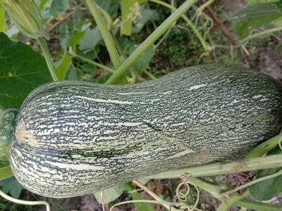 广西壮族自治区来宾市武宣县蜜本南瓜 4~6斤 长条形