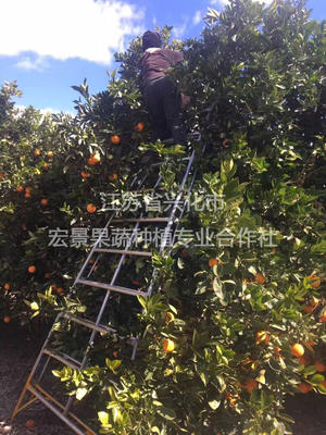 这是一张关于澳洲脐橙 60 - 65mm 4.0两的产品图片