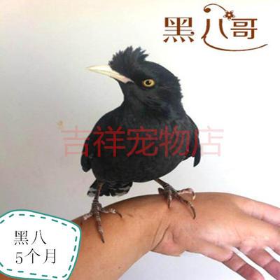 广西壮族自治区桂林市永福县鹦鹉八哥