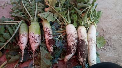 河南省三门峡市湖滨区白萝卜 1.5~2斤