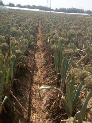 这是一张关于章丘大葱种子 ≥85% 常规种的产品图片