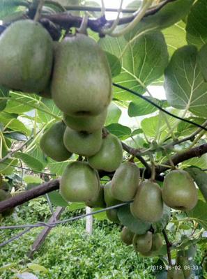 湖南省湘西土家族苗族自治州凤凰县红心猕猴桃 120克以上