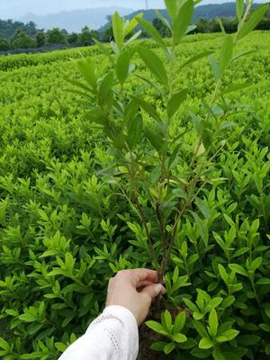 湖南省郴州市苏仙区毛鹃 0.5米以下