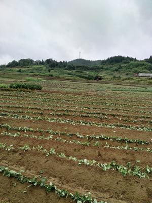 湖南省永州市蓝山县紫罗兰紫薯 3两以上