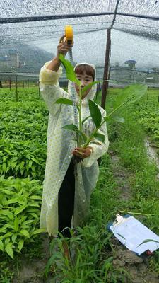 这是一张关于草果苗 独本苗 0.5米以下的产品图片