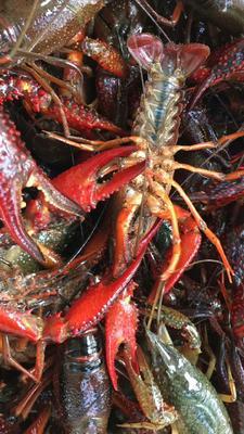 这是一张关于潜江小龙虾 人工殖养 6-8钱的产品图片
