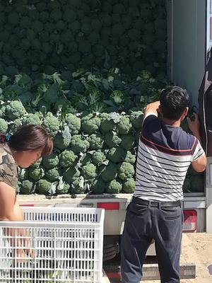河北省张家口市万全县耐寒优秀西兰花 1.5~2.0斤 15~20cm