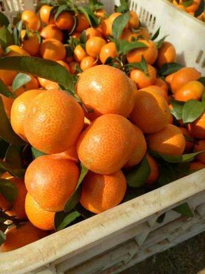 广西壮族自治区百色市西林县沙糖桔 2.5 - 3cm 1两以下