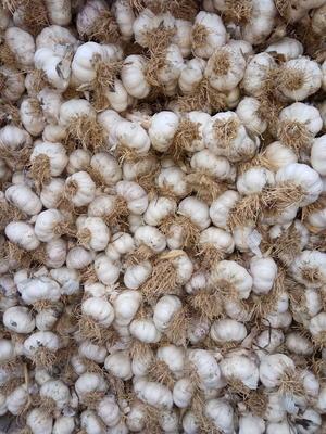 这是一张关于紫皮大蒜 4.5-5.0cm 多瓣蒜的产品图片