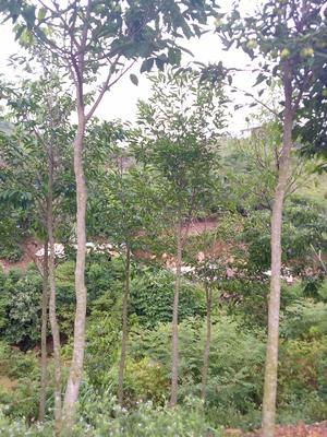 广西壮族自治区钦州市钦南区白木香