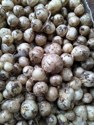 这是一张关于野蒜的产品图片