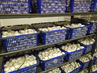 河南省洛阳市洛龙区蘑菇