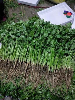 山东省德州市齐河县大叶香菜 25~30cm