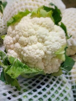 甘肃省定西市临洮县白花菜花 紧密 2~3斤 乳白色