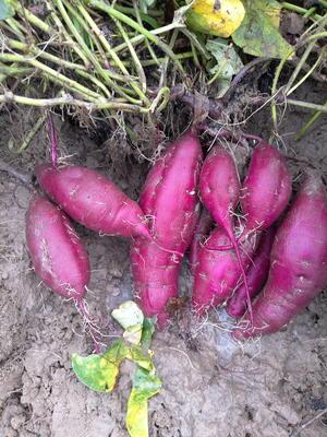 广东省湛江市雷州市紫罗兰紫薯 3两以上