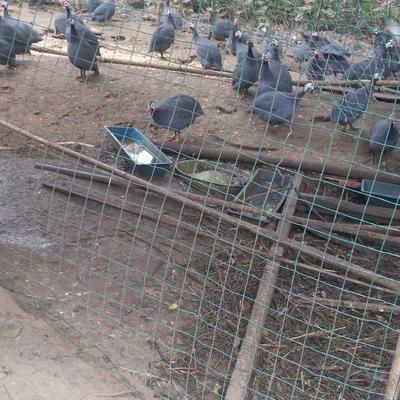 广西壮族自治区南宁市横县灰色珍珠鸡 2-4斤