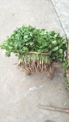 四川省绵阳市涪城区大叶香菜 20~25cm
