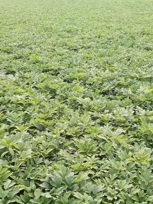 河南省周口市郸城县油用牡丹种苗 10~12cm 4cm以下 0.5米以下