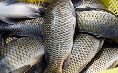 北京平谷区池塘鲤鱼 人工养殖 0.25-1龙8国际官网官方网站