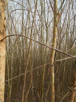 内蒙古自治区巴彦淖尔市临河区速生白榆