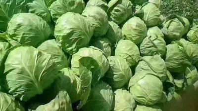 陕西省榆林市靖边县绿甘蓝 2.5~3.0斤