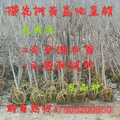江苏省宿迁市沭阳县晚樱 4公分以下 1~1.5米