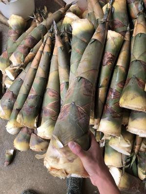 这是一张关于麻笋 30cm以上 鲜笋的产品图片