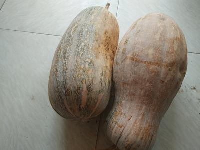 云南省红河哈尼族彝族自治州元阳县蜜本南瓜 6~10斤 长条形