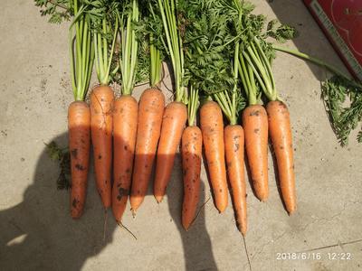 山东省青岛市平度市三红胡萝卜 10~15cm 2两以上 3~4cm