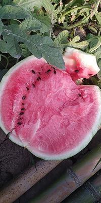 安徽省阜阳市界首市8424西瓜 有籽 2茬以上 8成熟 2斤打底