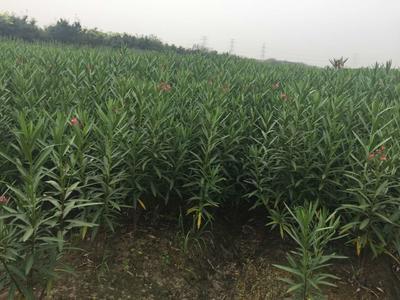 江苏省宿迁市沭阳县夹竹桃 2公分以下 2公分以下 1.0~1.5米