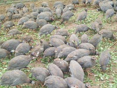 四川省南充市南部县灰色珍珠鸡 2-4斤