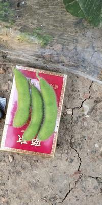 江苏省徐州市新沂市绿宝石毛豆 24~30克