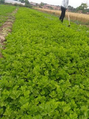陕西省渭南市临渭区香芹 50~55cm 露天种植 0.5斤以下