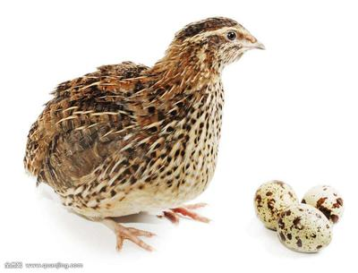 这是一张关于黄羽鹌鹑蛋 食用 箱装的产品图片