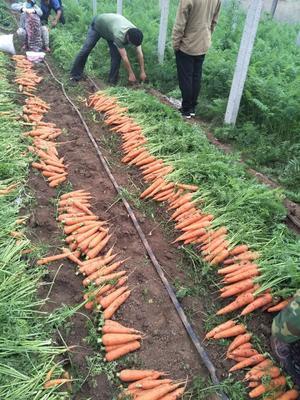 山东省潍坊市青州市三红胡萝卜 15cm以上 3两以上 3cm以下