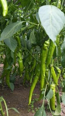 辽宁省鞍山市海城市羊角椒种子 90%以上 杂交种