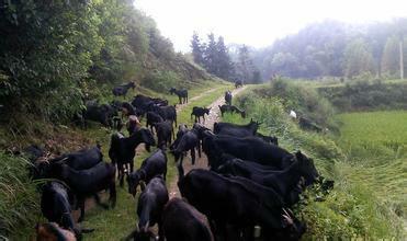 甘肃省兰州市皋兰县白条羊 生肉
