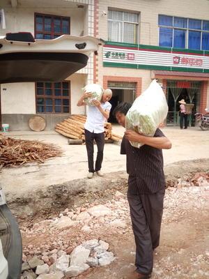 湖北省宜昌市西陵区白花四季豆 12cm以上