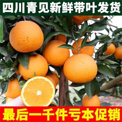 四川省眉山市丹棱县青见柑桔 7 - 7.5cm 3两以上