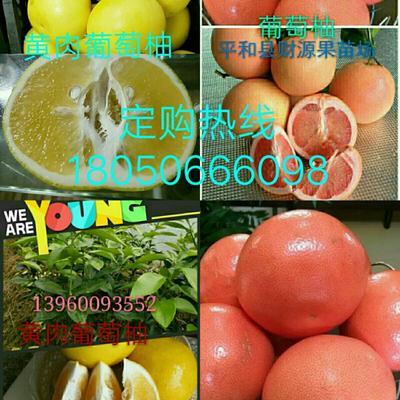 福建省漳州市平和县葡萄柚苗