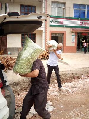 湖北省宜昌市西陵区白花四季豆 15cm以上